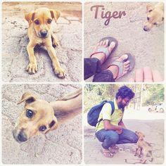 Tiger #tiger #stray #upinangadi #vadi #pets #pup #dog #care #mobilephotography #animals #deepstudio www.deep.studio #collage #love