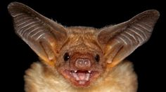 The biggest library of bat sounds has been compiled to identify bats from their calls in Mexico – a country which harbours many of the Earth's species and has one of the highest rates of species extinction and habitat loss. Funny Wild Animals, Rare Animals, Primates, Mammals, Bat Photos, Bat Species, Species Extinction, Dancing Animals, Funny Animal Humor