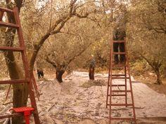 Harvest olives