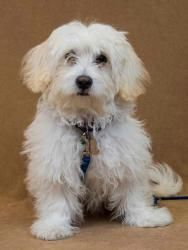 Penelope is an adoptable Maltese Dog in Davis, CA. Penelope is a wonderful little four month old lhasa/maltese mix. She will need regular grooming to keep her wonderful coat at its best and to keep he...
