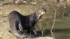 brasil-extinção ARIRANHA, onça-d'água, lontra-gigante ou lobo-do-rio. Esse mamífero que vive no Pantanal e na Amazônia sofre com a pesca, caça ilegal e poluição dos rios. Encontra-se extinta em 80% de sua distribuição original. Crédito da imagem: Thinkstock