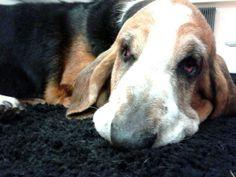 Sguardo da #Bassethound Dogs, Animals, Animales, Animaux, Pet Dogs, Doggies, Animal, Animais