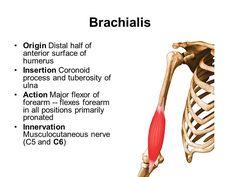 brachialis origin and insertion - Google Search