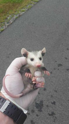 Im an Animal Control Officer in Central VA. Figured id show you some of the animals ive saved so far this year Baby Animals, Funny Animals, Cute Animals, Baby Possum, Opossum, Little Critter, Animal Control, Mammals, Fur Babies