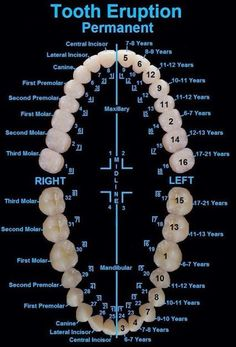 Tooth Eruption Chart for Permanent Teeth Dentaltown