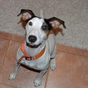 Former Spanish rescuedog Kerttu looking for home in fostercare in Finland