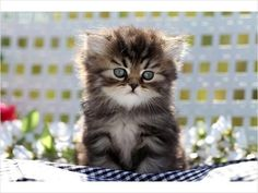 Image detail for -Shaded Golden Teacup Persian Kitten - www.dollfacepersiankittens.com ...