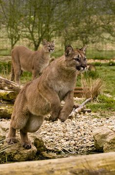 Pumas (by wwmike)