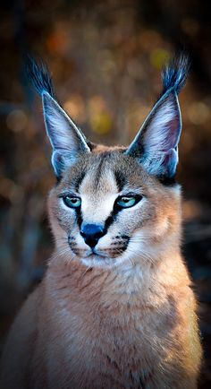 The Caracal is one of the smallest wild cats to roam the South African bush. Photography by Francois Papastefanou