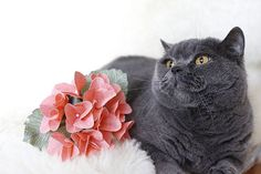 This cat just cannot miss a photoshoot 😁 Message us if you like this paper Hydrangea and would like to get one of those 🌹💐 We deliver paper flowers and bouquets across Finland 📩  #kukkakauppa #helsinki #finland #kukka #kukkakimppu #kukat #flower #paperpetals #paperflowers #paper #photography #instabeauty #kissa #cat #fur