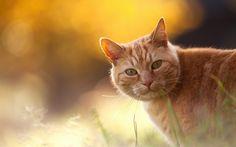 Рыжий кот, размер: 1280x800 пикселей