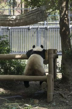 今日のパンダ(524日目)   毎日パンダ