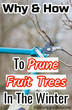 Wintertime is the perfect time to prune fruit trees. Learn how and why to prune fruit trees in the winter in just 4 easy steps! Prune Fruit, Pruning Fruit Trees, Tree Pruning, Trees To Plant, Fruit Tree Garden, Garden Trees, Apple Tree Care, Landscaping Trees, Peach Trees