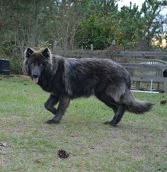 Breed standard Blue Bay Shepherd puppies and adults located in Palm Bay, Florida. Blue Bay Shepherds in Florida for sale. Blue Bay Shepherd, Blue German Shepherd Puppies, King German Shepherd, German Shepherds, Big Dogs, Cute Dogs, Dogs And Puppies, Doggies, Beautiful Dogs