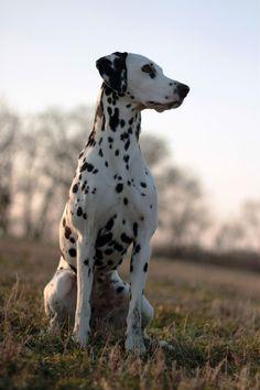 Dalmatian | by Vladimir PicDeal