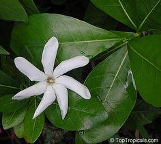 Gardenia taitensis Tiare Tahiti, Tahiti Gardenia, Star of Tahiti ...