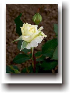 POVEȘTI DE VACANȚĂ – Legenda trandafirului Plants, Planters, Plant, Planting