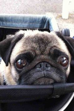 """Pugs are masters of the """"I'm so adorable you can't resist me"""" Raza Pug, Sweet Dogs, Pug Shirt, Pugs And Kisses, Puppy Images, Pug Pictures, Pug Pics, Baby Pugs, Cute Pugs"""