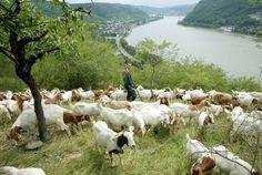 Aktivitäten und Ausflüge am Mittelrhein Loreley und Rheinsteig