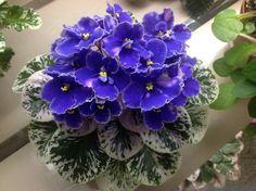 Violeta Africana ~ ~ órbita exterior de Rob tres hojas ~ | eBay!
