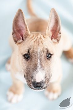 Ok Lola will take a colored bull terrier brother or sister too