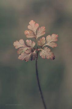 Leaf by yavuzselimturan - Photo 98733159 - Fotografia Macro, Natural Forms, Flower Wallpaper, Botanical Illustration, Flower Power, Beautiful Flowers, Nature Photography, Scenery, Leaves