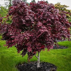 Purple Ghost Japanese Maple For Sale Online The Tree Center Garden Trees, Trees To Plant, Weeping Cherry Tree, Purple Trees, Colorful Trees, Japanese Garden Design, Japanese Landscape, Arte Floral, Small Trees