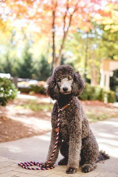 Poodle Dogs When it comes to apartment pets, size does matter. - Many dogs do just fine living in apartments. Check out this list of breeds who are well-suited to apartment living, including some surprises, like Greyhounds and Poodles. Dog Training Methods, Best Dog Training, Beagle, Poodle Cuts, Puppy Obedience Training, Poodle Grooming, Dog Grooming, Positive Dog Training, Dog Behavior