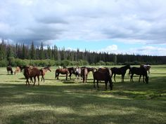 Horses on meadow.The Big Creek Lodge is a working Guest Ranch in the heart of the Chilcotin, a remote and untouched area near the Coast Mountain of British Columbia, Canada.http://www.ranchseeker.com/index.cfm/pg/listing_details/id/12191/frompopup/0