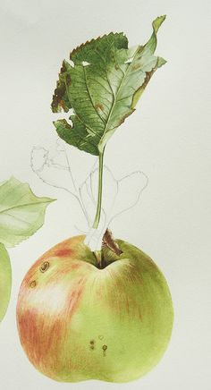 My second tutorial in October is the fruit to accompany the bramley apple leaf… Illustration Botanique, Plant Illustration, Watercolor Illustration, Botanical Drawings, Botanical Prints, Watercolor Flowers, Watercolor Paintings, Fruit Painting, Watercolour Tutorials