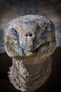 Galapagos Tortoise, Calvin, at the San Diego Zoo Sulcata Tortoise, Giant Tortoise, Tortoise Turtle, Les Reptiles, Reptiles And Amphibians, Animals And Pets, Baby Animals, Cute Animals, Kawaii Turtle