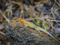 These tiny brightly colored lava lizards are everywhere in the Galapagos Islands!