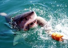 Great white shark conservation was pioneered in South Africa, the first country to declare this toothy predator a protected species. Orcas, Great White Shark Facts, Real Shark Attacks, Shark Diving, Sharks, Cool Sea Creatures, Great White Attack, Shark Conservation, Shark Photos