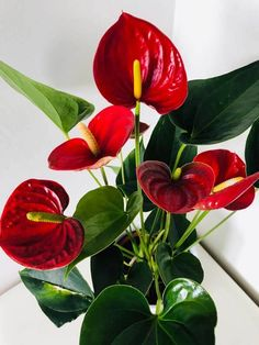 Flamingo Flower and Painter's Palette are two Anthurium species that are grown as houseplants. Dark green leaves and long lasting flowers, usually in red, combined with its exotic looking appearance result in an attractive indoor plant Rare Flowers, Exotic Flowers, Beautiful Flowers, Lilies Flowers, Purple Flowers, House Plant Care, House Plants, Tropical Flowers, Anthurium Care