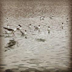 Ducks in the Pangong Tso Lake… (Taken with Instagram at Pangong Tso) Leh Ladakh, Travelogue, Ducks, Animals, Instagram, Animaux, Animal, Animales, Animais