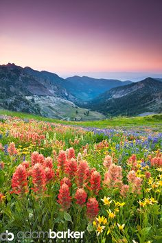 WOW.    Wildflowers at dawn, Snowbird Resort, Utah    We rode the chairlift up in the summertime, incredibly beautiful!