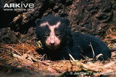 spectacled bear cub (Tremarctos ornatus)
