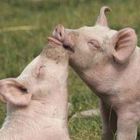 Farm Sanctuary, NY Farm animals freed from factory farming Baby Pigs, Pet Pigs, Farm Animals, Animals And Pets, Cute Animals, Vegan Animals, Mini Pigs, Cute Piggies, Little Pigs