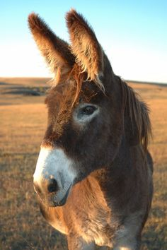I can't stop looking at pictures of donkeys and thinking about how badly I want one.