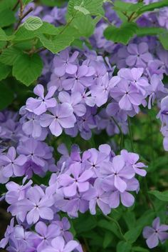 Phlox divaricata 'Blue Moon' (Woodland phlox) – Perennial – Zones Height in. Selected for outstanding flower color and very full flower petals, 'Blue Moon' bears many fragrant, flowers with the arrival of spring. Enjoy a knee-high sea of elegant,. Colorful Flowers, Purple Flowers, Beautiful Flowers, Landscaping Plants, Garden Plants, Landscaping Ideas, Inexpensive Landscaping, Modern Landscaping, Flowers Perennials
