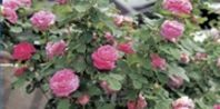 keep bugs off roses - http://www.ehow.com/way_5499476_natural-bugs-off-rose-bushes.html