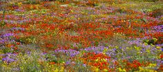 namaqualand flowers | Recent Photos The Commons Getty Collection Galleries World Map App ...