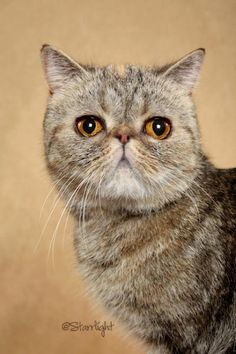 Exotic Shorthair.  I want one!!!!!!!!!!!!!!!!