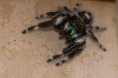 White-Black-Jumping-Spider-Green-Fangs.jpg (640×428)