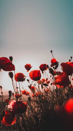Poppy red sky sunset flower wallpaper for phone Flowers wallpapers phone iPhone wallpaper # screensa