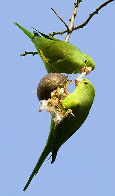 Parakeets in the Garden Learn To Fly, Parakeets, Bird Watching, Pet Birds, Bird Art, Beautiful Birds, Parrot, Caribbean, Stress