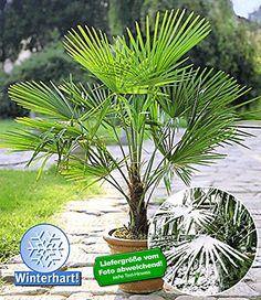 BALDUR-Garten Winterharte Kübel-Palmen, 1 Pflanze, Trachy... https://www.amazon.de/dp/B00EIPEE8M/ref=cm_sw_r_pi_dp_x_2tZdybTWP2MCZ