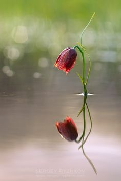 Fritillary Flower in Water with Reflection, #Flowers, #Flowers & #Trees…