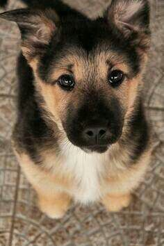 German Shepherd puppy~