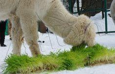 Alpaca with agritom fresh fodder